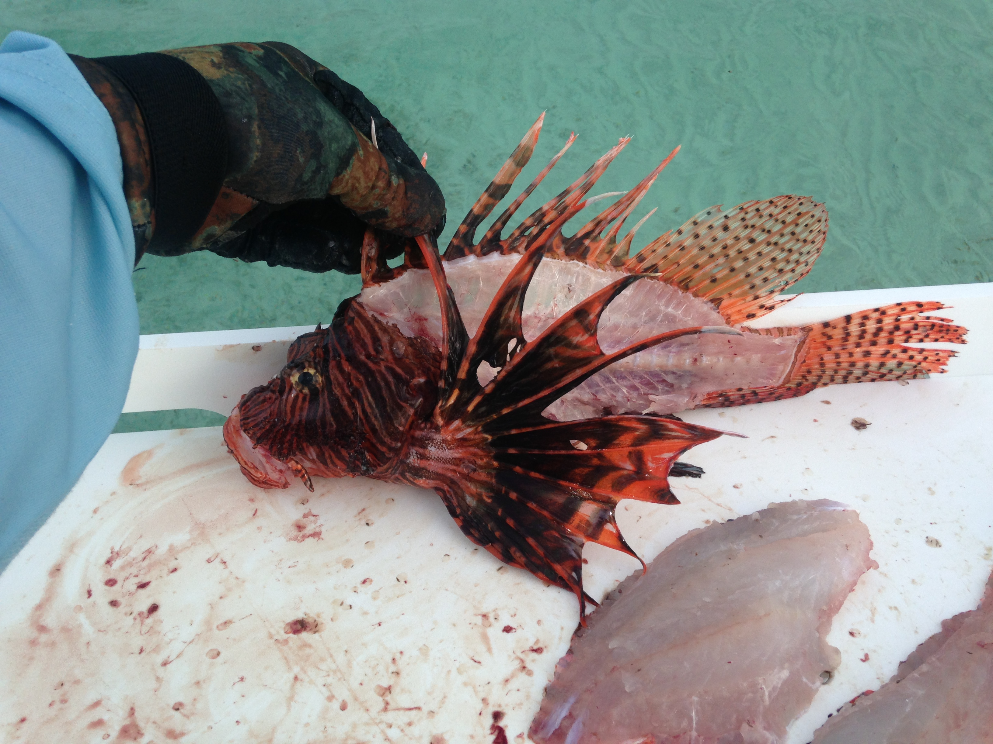 Lionfish, it's what's for dinner.