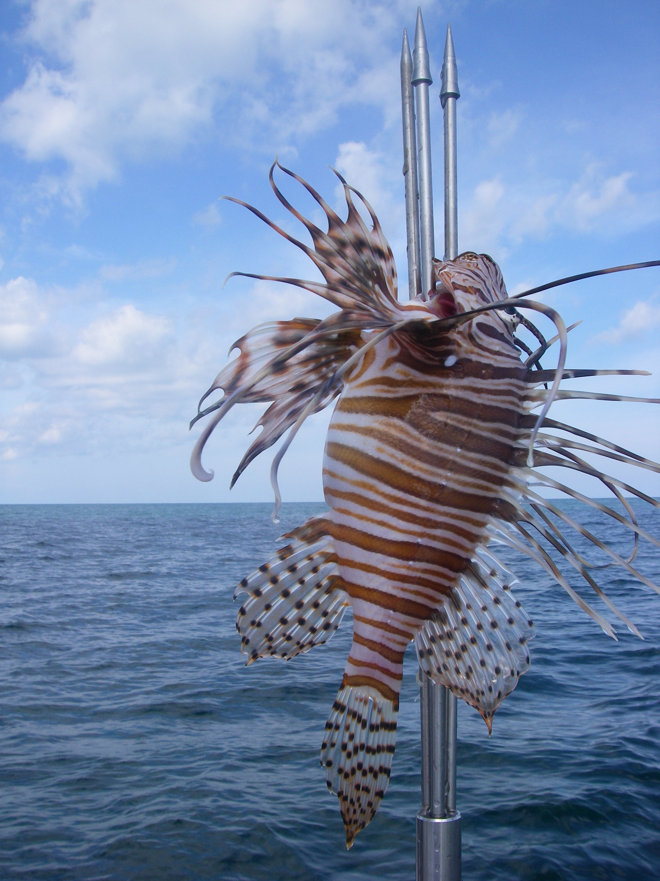 Tasty dinner treat taken with a Bandito Lionfish Polespear.